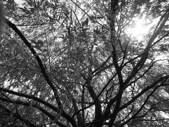 A_Black_and_White_Willow_Tree_by_Kaycee710